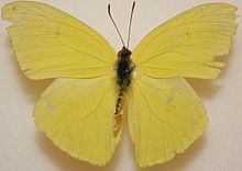 Male Cloudless Sulphur, Megan McCarty97.jpg