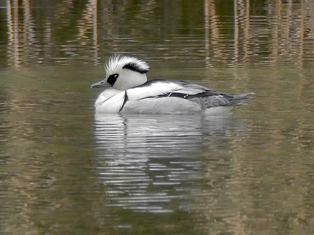 Male Smew on the pond