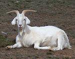 Male goat.jpg