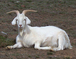 Goats/Introduction - Wikibooks, open books for an open world