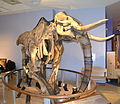 Mammoth skeleton display at Children's discovery museum in San Jose, California.JPG