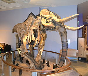 Children's Discovery Museum of San Jose - A mammoth skeleton displayed at the museum