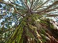 Mammoth tree.JPG