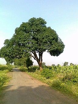 Mango tree at Chinawal