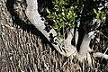 Mangrove-trunk.jpg