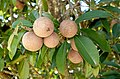 Manilkara zapota - Fruit and Spice Park - Homestead, Florida - DSC09131.jpg