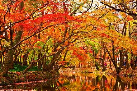 Maple leaves changing colour by a creek. Maple Trees by Creek.jpg