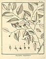 Maprounea guianensis Aublet 1775 pl 342.jpg