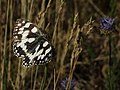 Marbled White.jpg