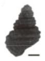 Margarya monodi shell 2.png