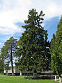 Markivci-Tree-2.jpg