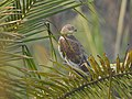 Marsh harrier-kattampally - 3.jpg