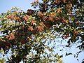 Maruth (Malayalam- മരുത്) (5285877592).jpg