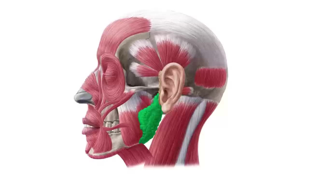 Filemasseter Muscle Function Origin Insertion Innervation