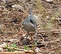 Mauritius Grey White-eye. Zosterops mauritianus - Flickr - gailhampshire.jpg