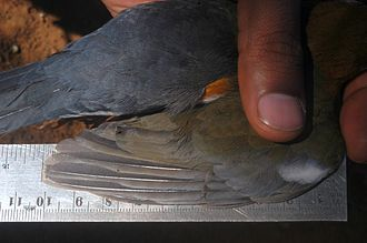 Bird measurement - Measuring the wing