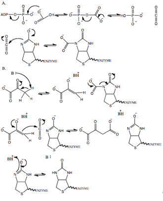Pyruvate carboxylase -  Proposed mechanism of pyruvate carboxylase: (A) ATP dependent carboxylation of biotin (BC domain); (B) Transcarboxylation of pyruvate (CT domain).