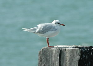 Mediterranean gull - Southend Pier, UK