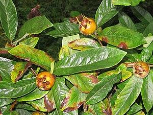 Medlars Fruits on a Medlar tree in the Orchard...