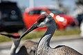 Merritt Island sandhill cranes at KSC (KSC-20210324-PH-JBS02 0054).jpg