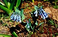 Mertensia longiflora.jpg