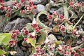 Mesembryanthemum crystallinum TenerifeLosGigantes IMG 5594.JPG
