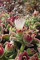 Mesembryanthemum crystallinum kz6.jpg