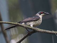 Metallic Starling female RWD6.jpg