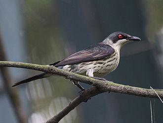 Metallic starling - Immature at San Diego Zoo