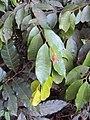Meteoromyrtus wynaadensis 20.JPG