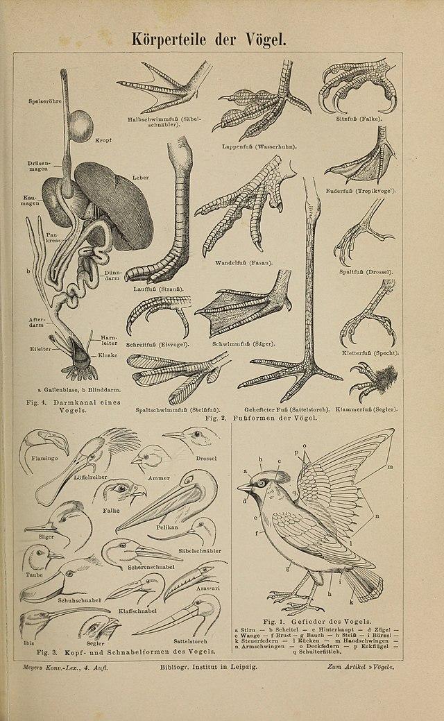 Vögel - Wikiwand
