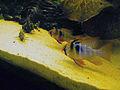 Mikrogeophagus.jpg
