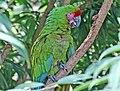 Military Macaw (Ara militaris) RWD1.jpg