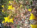 Mimulus guttatus-3.jpg
