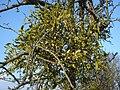 Mistletoe near Hanley Swan - geograph.org.uk - 636957.jpg