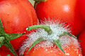 Mold on tomatoes (proxy).jpg