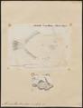 Monacanthus tomentosus - 1700-1880 - Print - Iconographia Zoologica - Special Collections University of Amsterdam - UBA01 IZ15400147.tif