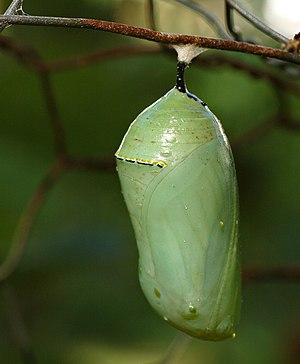 Monarch Butterfly Danaus plexippus Chrysalis 2...