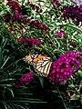 Monarch Butterfly on its Bush.jpg