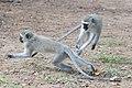 Monkeys at play (2361410601).jpg