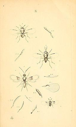 MonographiaChalciditumPlateKdel