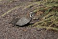 Montezuma Quail (male) SW Research Station Portal AZ 2018-09-05 07-24-34 (46891102755).jpg