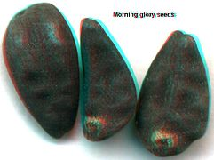Morning Glory seeds, mounted on microscope slide, secured with ...
