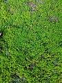 Moss of Bangladesh 2.jpg