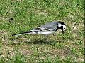 Motacilla alba in Hessen 03.jpg
