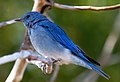 Mountain Blue Bird 4 (8045057780).jpg