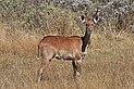 Mountain nyala (Tragelaphus buxtoni) juvenile.jpg