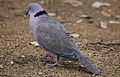 Mourning Collared Dove, African Mourning Dove, Streptopelia decipiens in early morning in Kruger National Park (19603962814).jpg