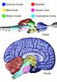 Mozek obratlovců – oblasti.png