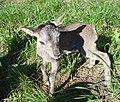 Mufloní mládě.JPG